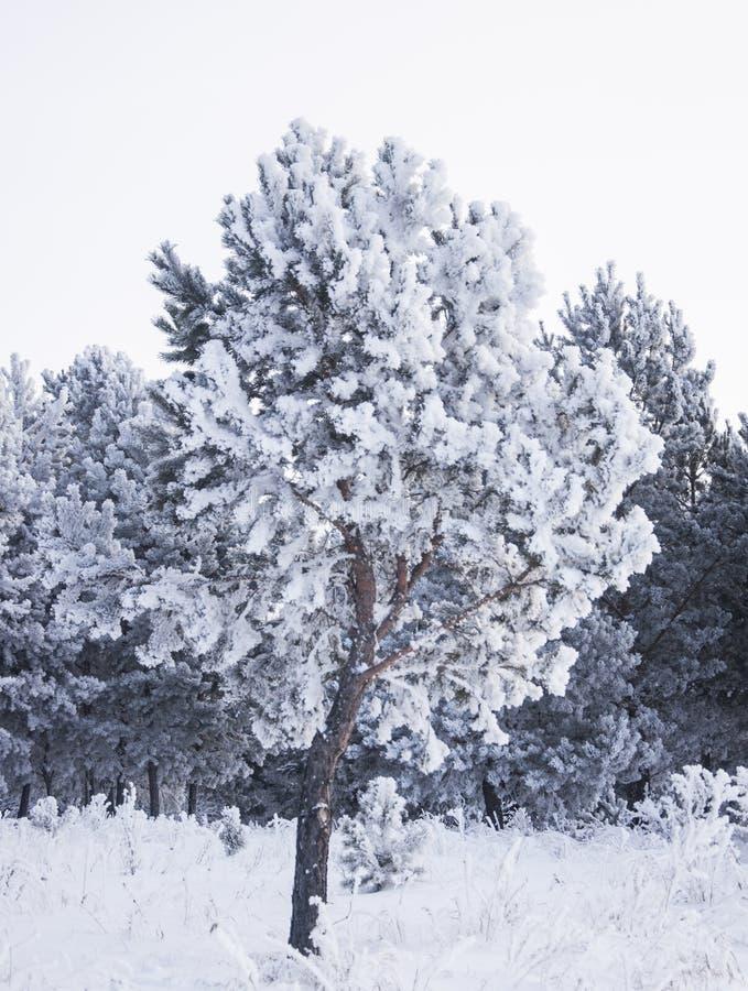 Fondo all'aperto del paesaggio nevoso della natura della foresta di inverno fotografie stock libere da diritti