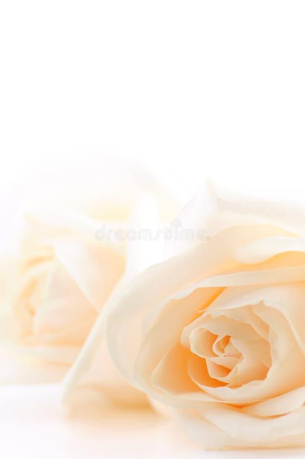 Fondo amarillento de las rosas fotografía de archivo libre de regalías