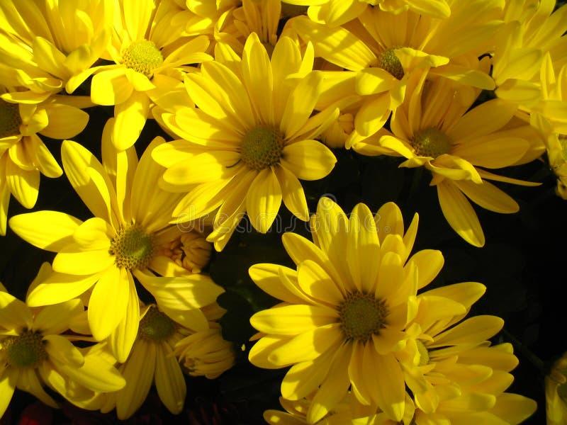 Fondo amarillo de la margarita fotografía de archivo