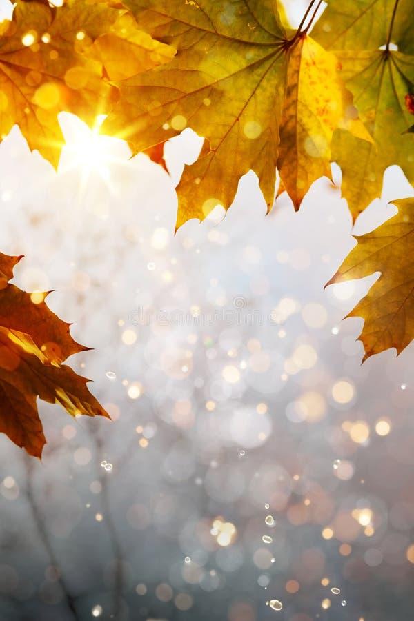 Fondo amarillo de las hojas de arce del otoño del arte imagen de archivo