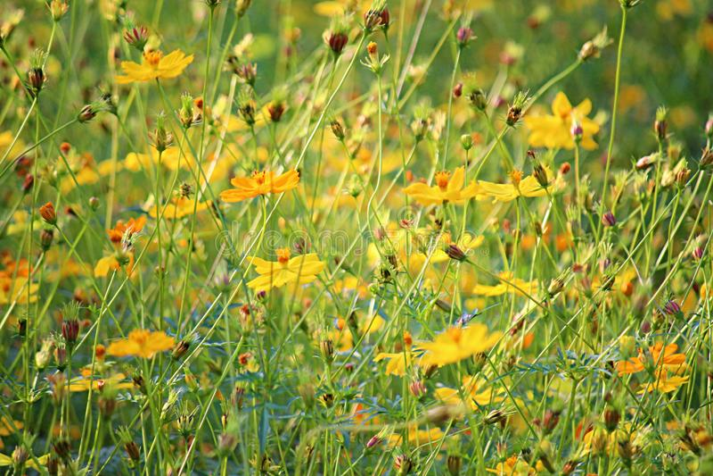 Fondo amarillo del jardín de flores con la hierba fresca fotografía de archivo
