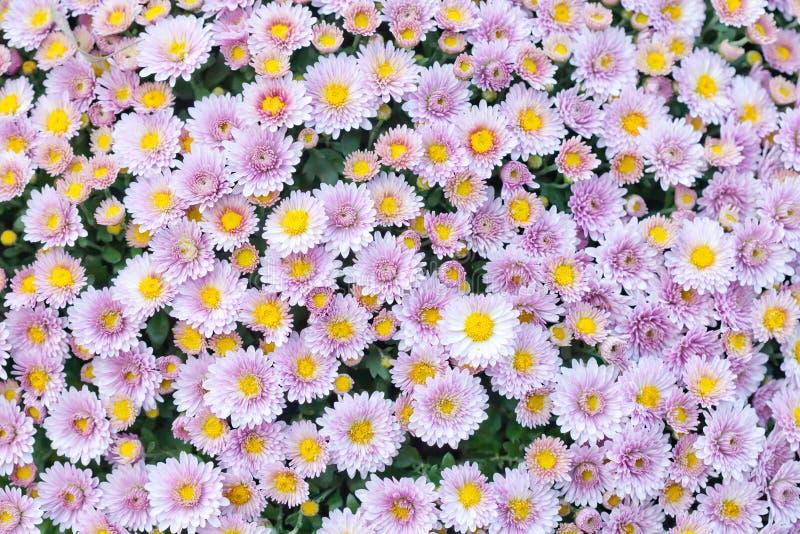 Fondo amarillo rosado violeta de campo de flores del crisantemo Aún vida floral con muchas momias coloridas Foco selectivo imagen de archivo