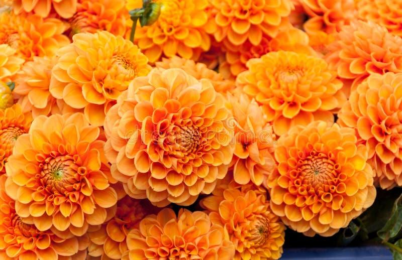 Fondo anaranjado de la flor de la dalia fotografía de archivo libre de regalías