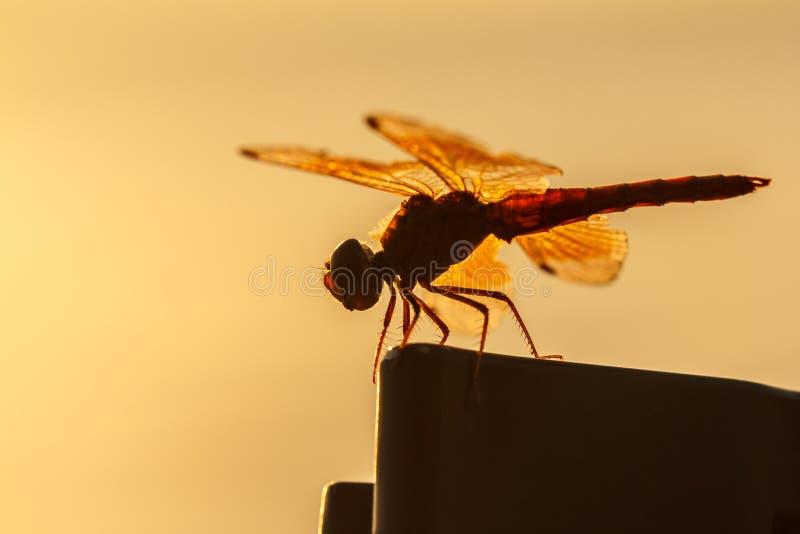 Fondo anaranjado de la libélula, silueta imágenes de archivo libres de regalías