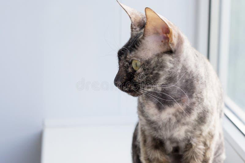 Fondo animale del gatto grigio Fuoco molle Copi lo spazio fotografia stock