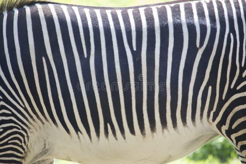 Fondo ANIMALE di struttura - pelliccia della zebra fotografia stock libera da diritti