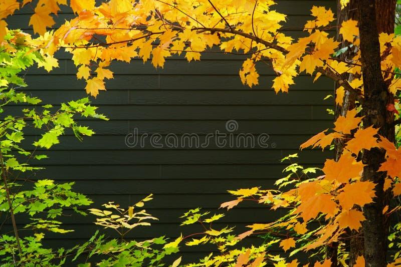 fondo Arancio verde delle foglie di acero fotografia stock libera da diritti