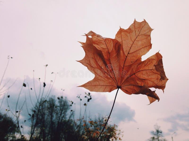 Fondo asciutto rosso di bianco della foglia di autunno immagine stock libera da diritti