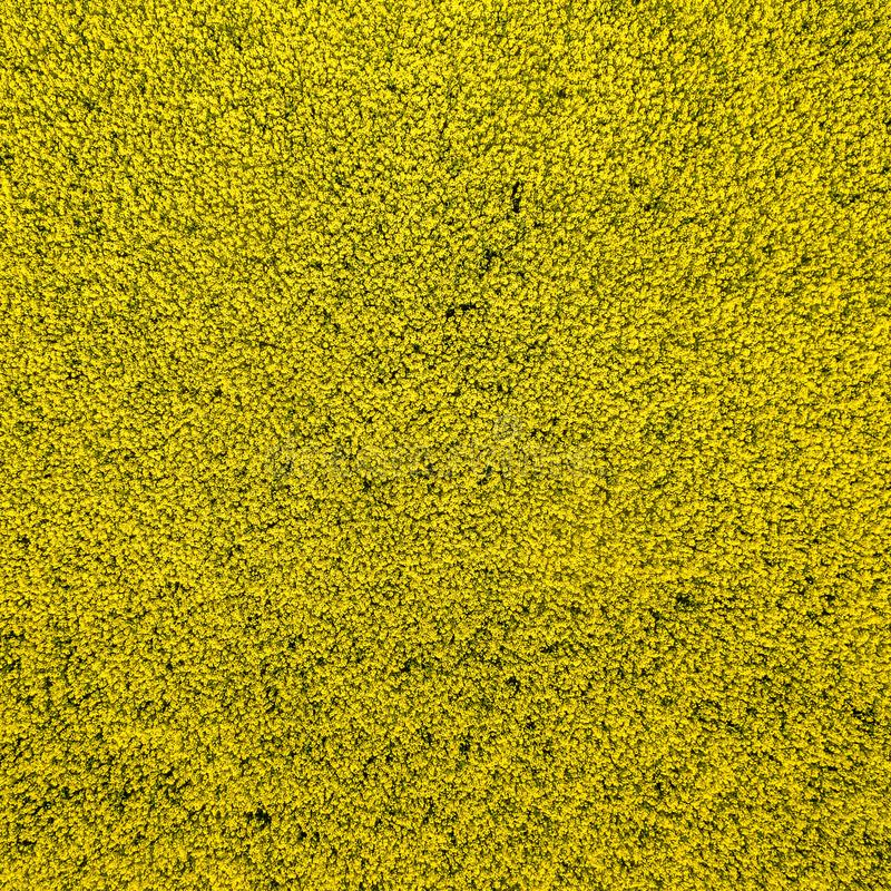 Fondo astratto da una foto aerea di un giacimento di fioritura giallo del canola ad un'altezza di 100 metri fotografia stock libera da diritti