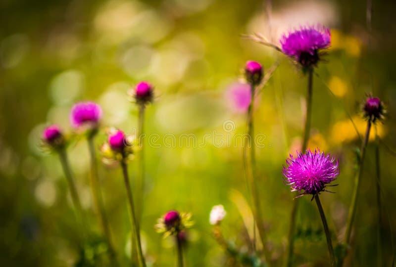 Fondo astratto dei fiori alpini Cardo selvatico di latte in alpino me fotografia stock libera da diritti