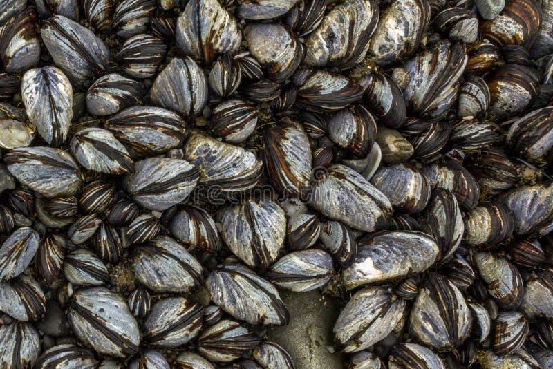 Fondo astratto delle cozze e dei balani sulla riva di mare fotografia stock