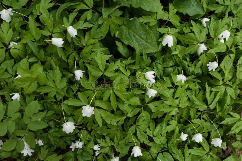 Fondo astratto delle foglie verdi con i fiori bianchi Vista superiore immagini stock