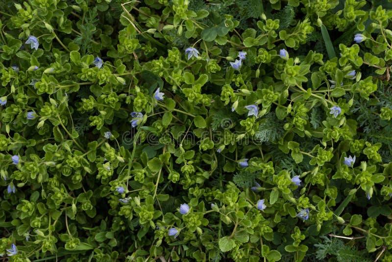 Fondo astratto delle foglie verdi con i fiori viola Vista superiore immagini stock libere da diritti