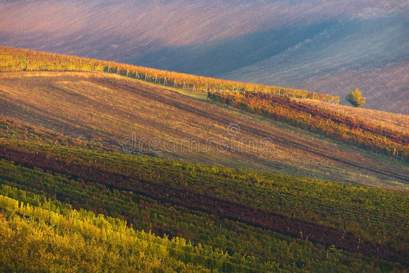 Fondo astratto di Autumn Vineyards Rows Autumn Color Vineyard Landscape Linea e vite File delle viti della vigna La di autunno fotografia stock libera da diritti