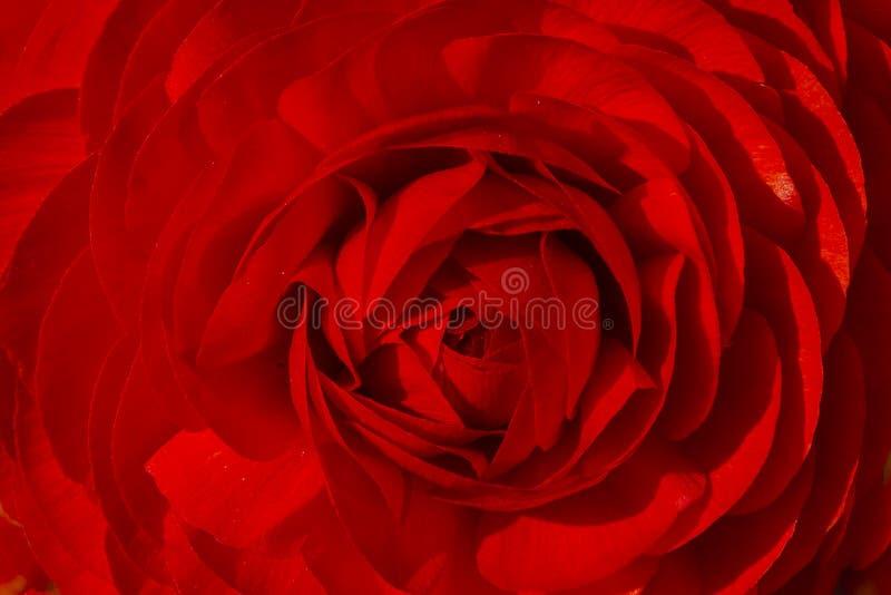 Fondo astratto: Fiore rosso del ranunculus immagini stock libere da diritti