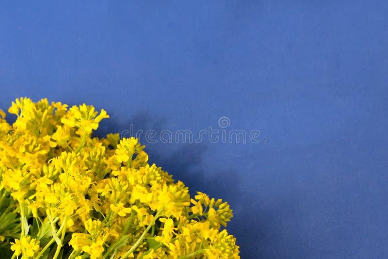 Fondo azul con el marco para de los wildflowers frescos amarillos foto de archivo libre de regalías
