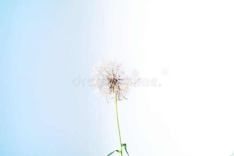 Fondo azul creativo con la inflorescencia blanca de los dientes de león fotografía de archivo libre de regalías