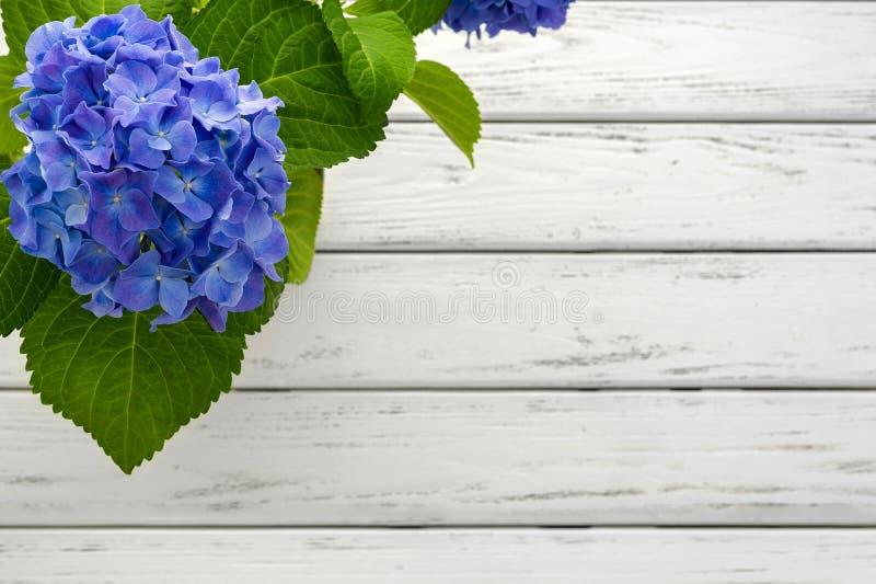 Fondo azul de la hortensia foto de archivo libre de regalías