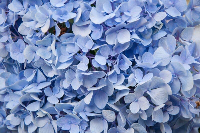 Fondo azul hermoso de la flor de las hortensias Color natural fotos de archivo libres de regalías