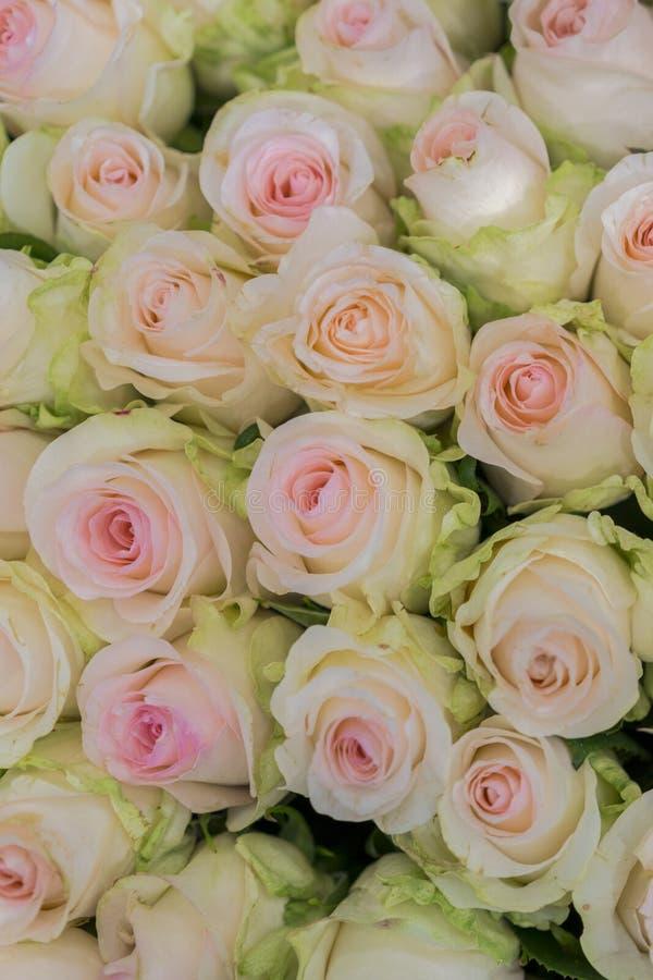 Fondo beige de las rosas Modelo incons?til horizontal de las rosas blancas Arreglo blanco de las rosas Foto vertical imagenes de archivo