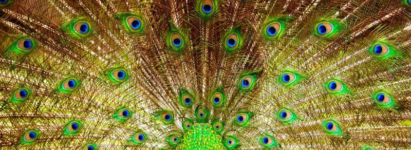 Fondo, bella coda del pavone Natura ed ambiti di provenienza fotografie stock libere da diritti