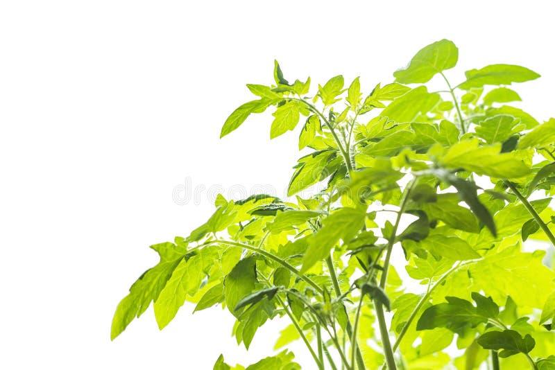 Fondo bianco con le giovani piante di pomodori fotografia stock libera da diritti