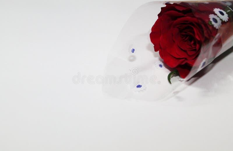 Fondo bianco con una Rosa fotografia stock libera da diritti