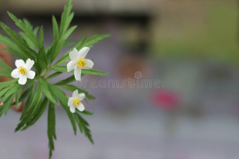 Fondo bianco dei fiori selvaggi della primavera fotografia stock