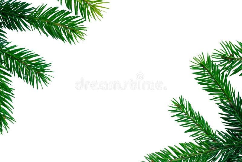 Fondo bianco del copyspace di Natale, struttura contiferous verde dei rami di albero dell'abete fotografia stock