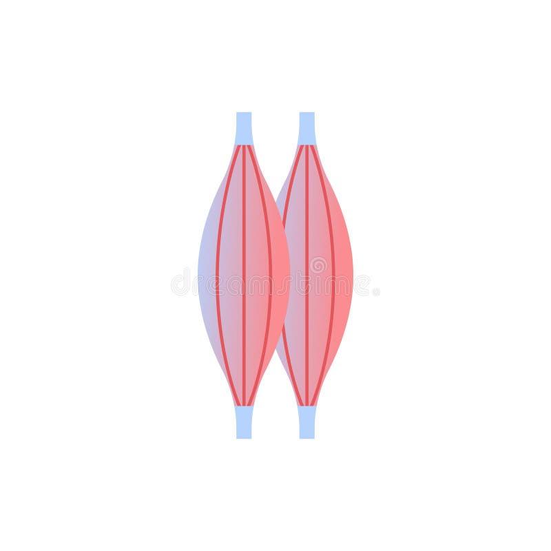 Fondo bianco di concetto medico di sanità di anatomia dell'organo umano dell'icona del muscolo illustrazione vettoriale