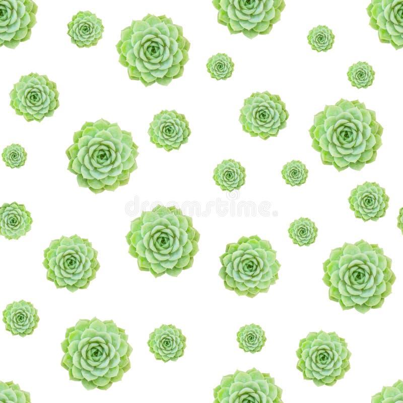 Fondo bianco di Echeveria del modello senza cuciture succulente verde della pianta immagine stock libera da diritti