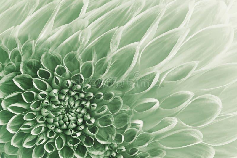 Fondo bianco verde floreale Fiorisce il primo piano delle dalie Fiorisce la composizione fotografie stock
