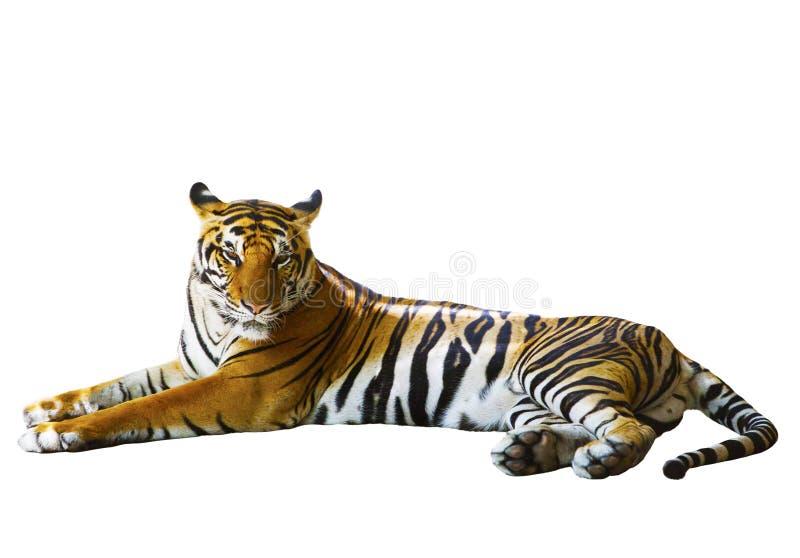 Fondo blanco aislado de la cara indochina del tigre que miente con r imagen de archivo