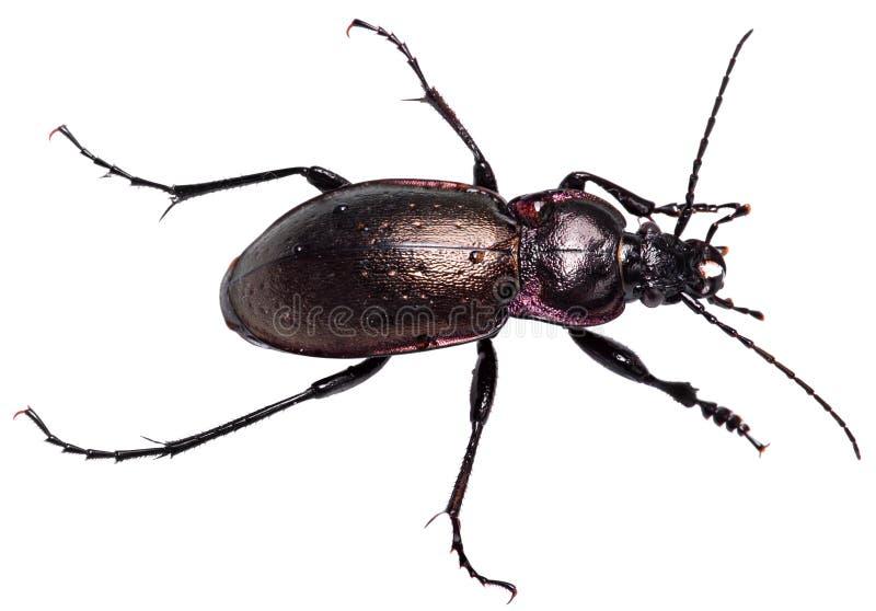 Fondo blanco aislado negro violeta de Dung Beetle imagenes de archivo