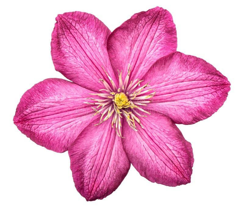 Fondo blanco aislado rosado de la cabeza de flor de la clemátide imagen de archivo