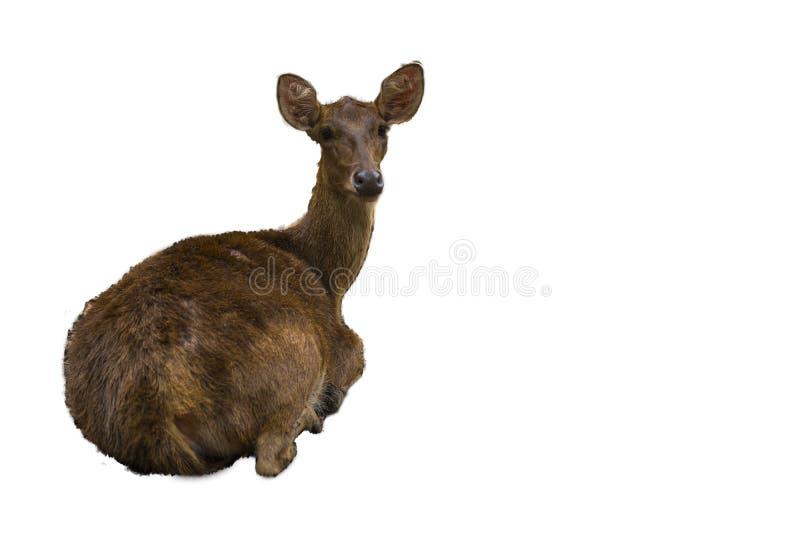 Fondo blanco con el pelo marrón largo Un ciervo masculino que se mueve adelante imagen de archivo