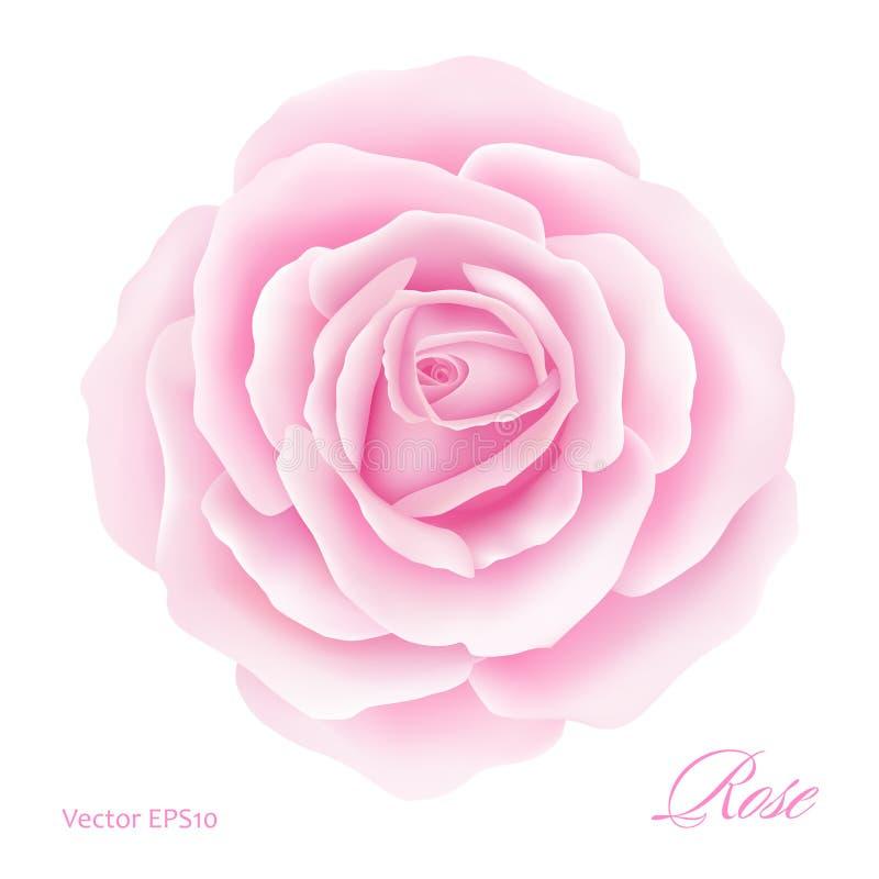 Fondo blanco con Rose Flower rosada Ilustración del vector ilustración del vector