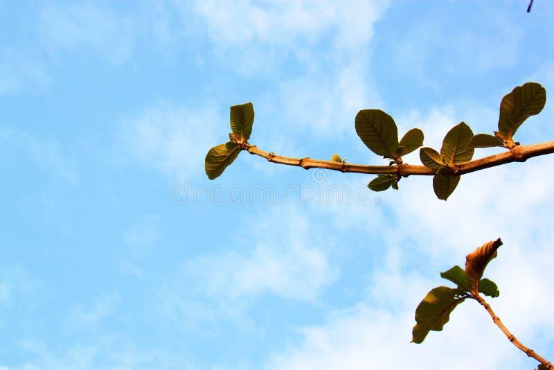 Fondo blanco de cielo azul de la nube del árbol verde imágenes de archivo libres de regalías