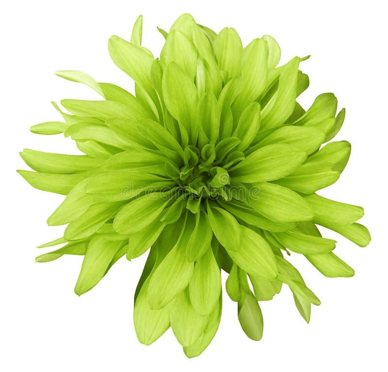 Fondo blanco de la flor de color verde amarillo de la dalia aislado con la trayectoria de recortes primer sin sombras imagen de archivo