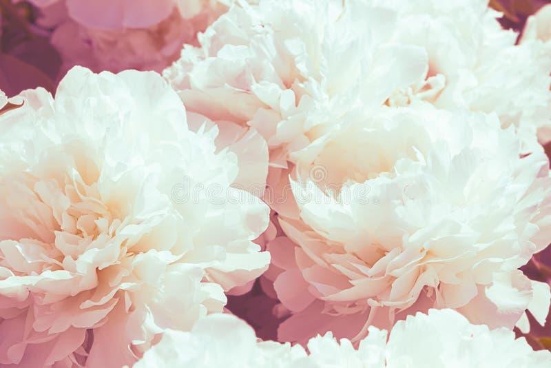Fondo blanco de la flor de la peonía imagenes de archivo