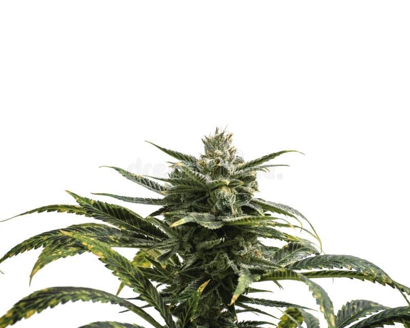 Fondo blanco de la planta de la mala hierba aislado con Crystal Buds y las hojas foto de archivo libre de regalías