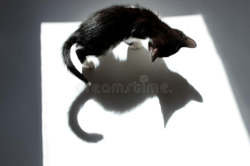 Fondo blanco negro de Kitten And His Shadow Over fotografía de archivo