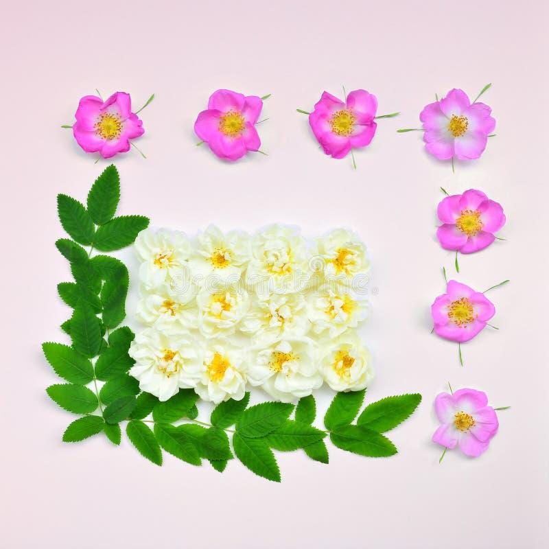 Fondo blanco y rosado de las rosas fotos de archivo