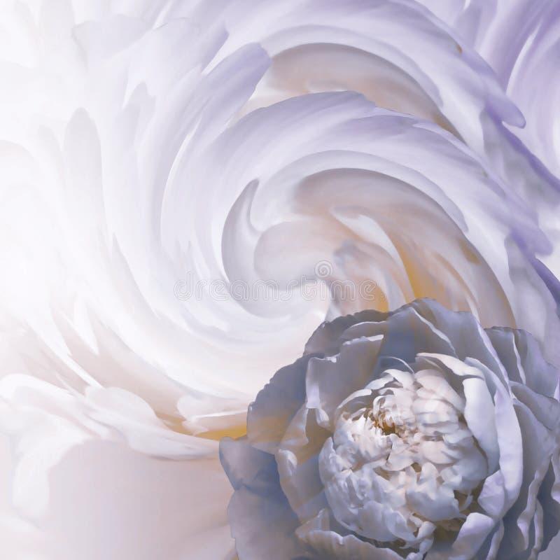 Fondo blu-bianco-porpora floreale astratto Un fiore di una peonia blu-chiaro su un fondo dei petali torti Cartolina d'auguri fotografie stock
