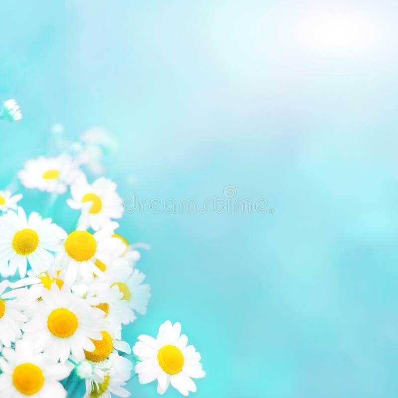 Fondo blu-chiaro molle di estate con i fiori della camomilla fotografia stock