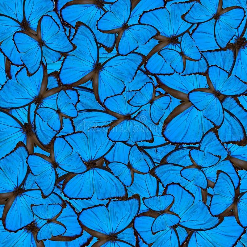 Fondo blu esotico fatto del testo blu dell'ala del ` s della farfalla di Morpho immagine stock
