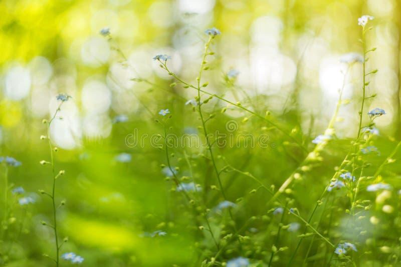 Fondo borroso abstracto del verde de la naturaleza con la hierba, plantas, flores azules con el bokeh hermoso en luz del sol fotos de archivo