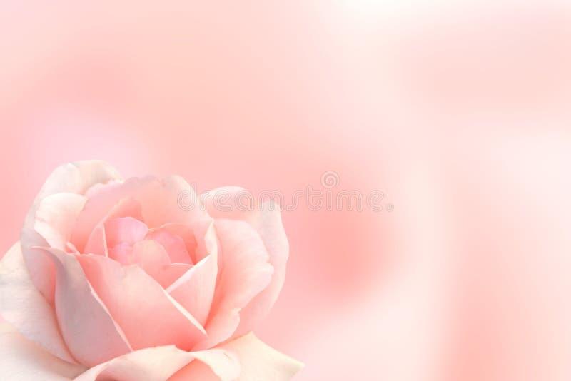 Fondo borroso con la rosa del color rosado imágenes de archivo libres de regalías
