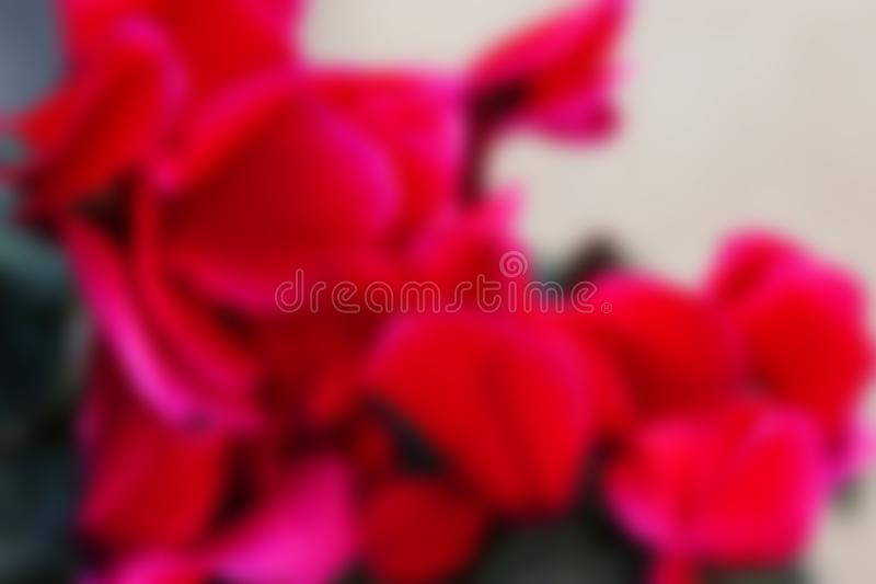 Fondo borroso con las flores rojas del ciclamen fotografía de archivo libre de regalías