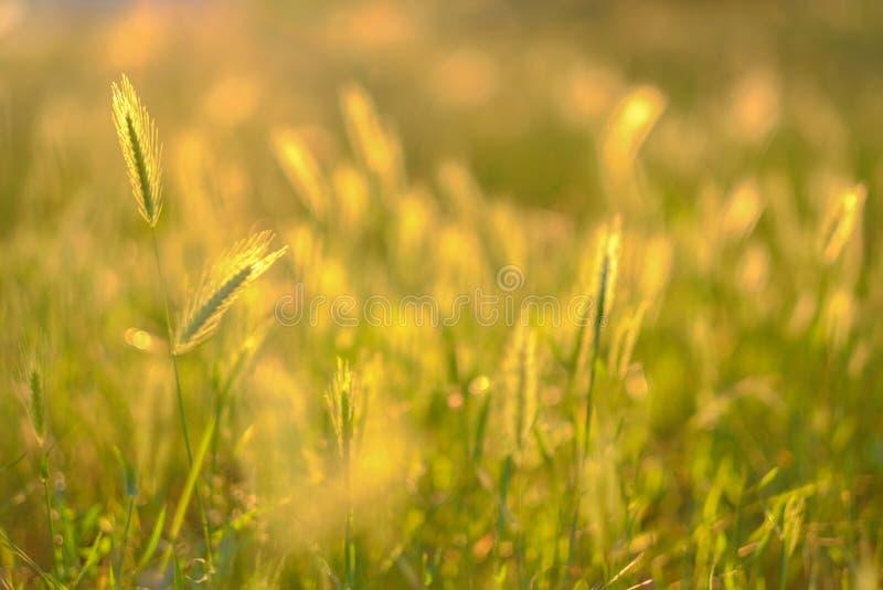 Fondo borroso natural del verano Hierbas y oídos del campo en la luz del sol de oro en la puesta del sol fotografía de archivo